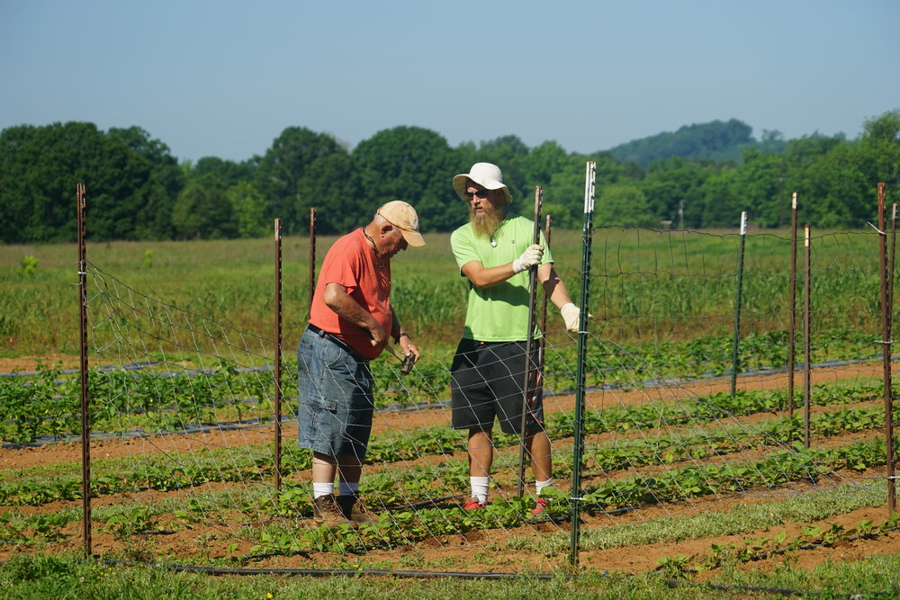 Dylan and Henry putting up fencing for beans to grow on