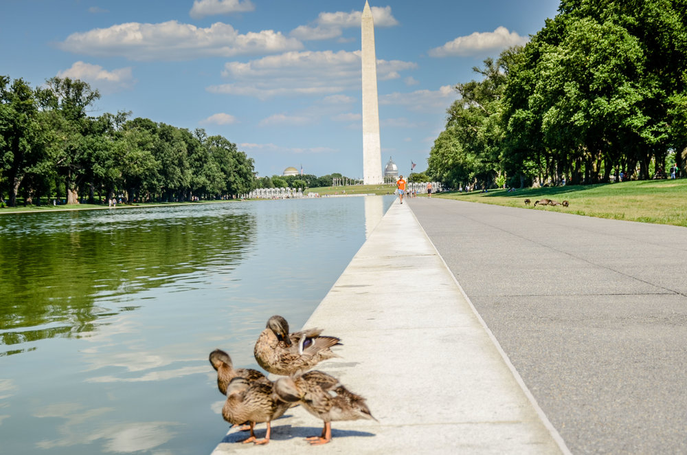 Washington Monument Ducklings (1 of 1).jpg
