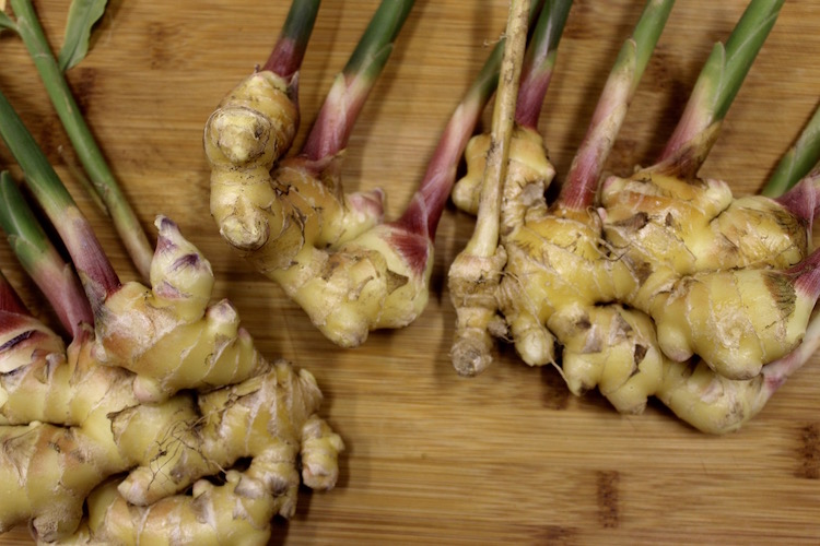 Multiple hands of freshly harvested ginger grown in an unheated greenhouse. Absent is the tough brown skin that develops during the curing process.