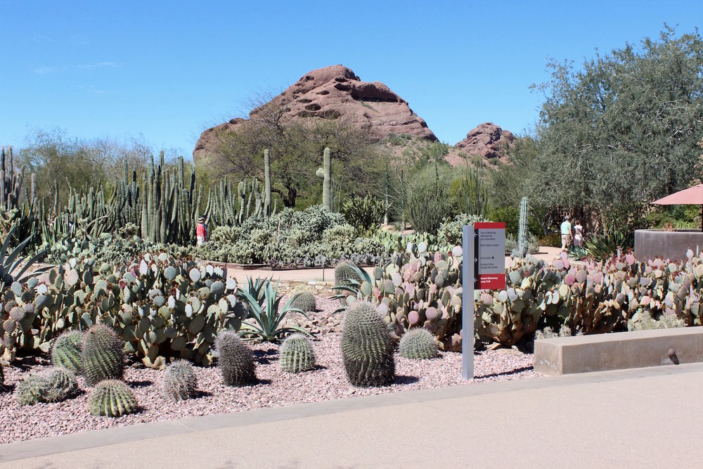 The Desert Botanical Gardens includes 4 themed easily accessible trails.  Many different kinds of cacti are featured including threatened and endangered species.