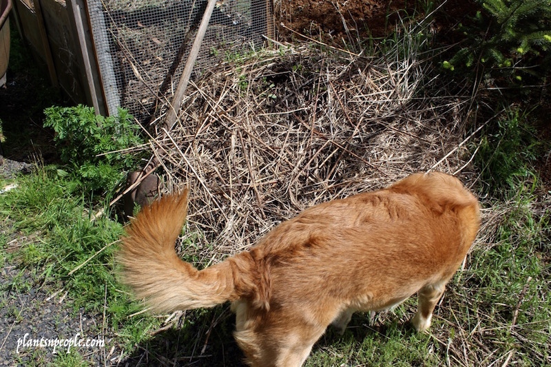 Murphy is always snooping around the compost pile.  I keep old hay or straw on top of the piles to hide the slimy kitchen scraps from the dogs but they love the smell!