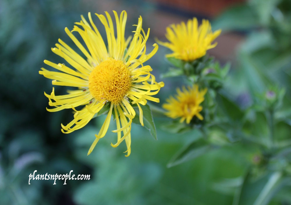Elecampane in bloom