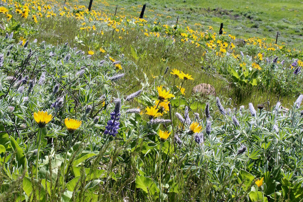 Partners in beauty, the legume Lupine sp. is often found growing next to balsamroot.  Legume members are nitrogen fixers and contribute to the success of nearby plants.