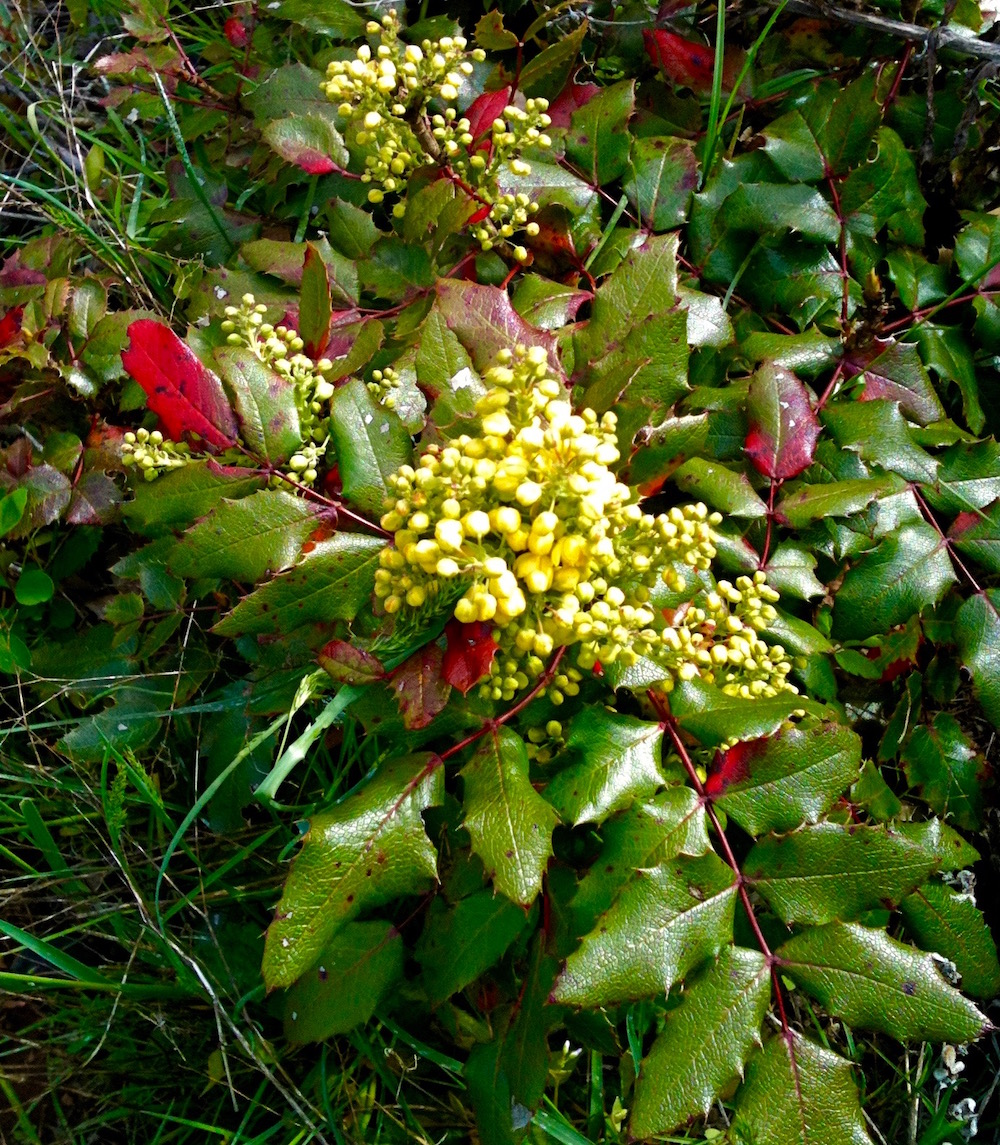 Somewhat ubiquitous in WA and OR, Oregon Grape ( Mahonia spp. ) is found in both forested and open terrain. Those bright yellow flowers will become purple-blue berries that are edible but sour. Oregon Grape keeps it tough leathery leaves year-round and many plants feature bright red leaves.  Oregon Grape is on the  United Plant Savers  To-Watch List as its potential for antibiotic use is being researched.