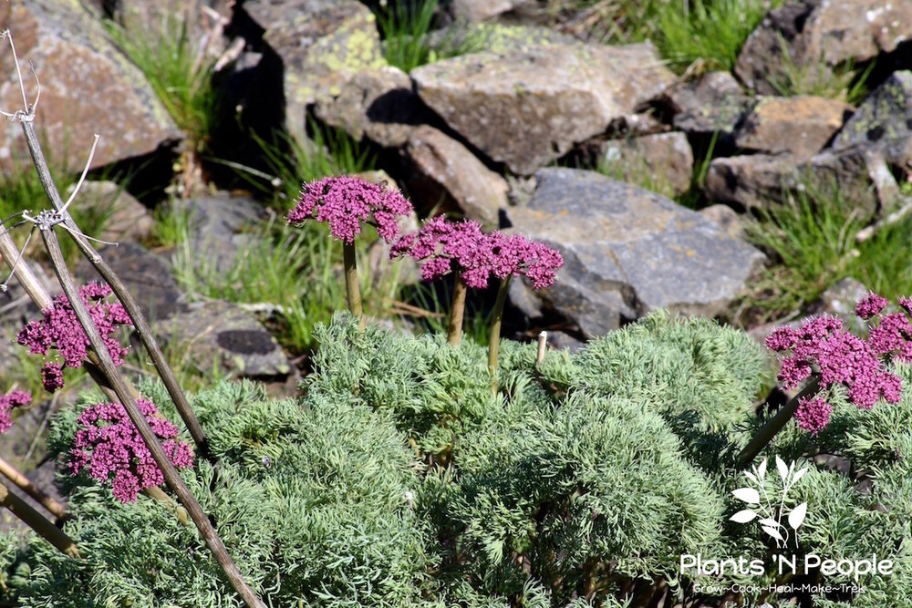 Columbia Desert Parsley (Lomatium columbianum) is a native specific to this region and is the only parsley family plant in the PNW with this color combination.