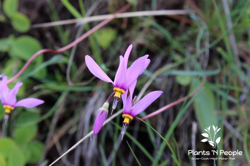 One of my favorites, Shooting Star, loves moist hillsides.  There are six species in the PNW and so you'll need to pay attention to leaf structure and time of bloom...which I didn't do on this trip. It's either Dodecatheon conjugens or D. pulchellum...have to wait until next year to determine.
