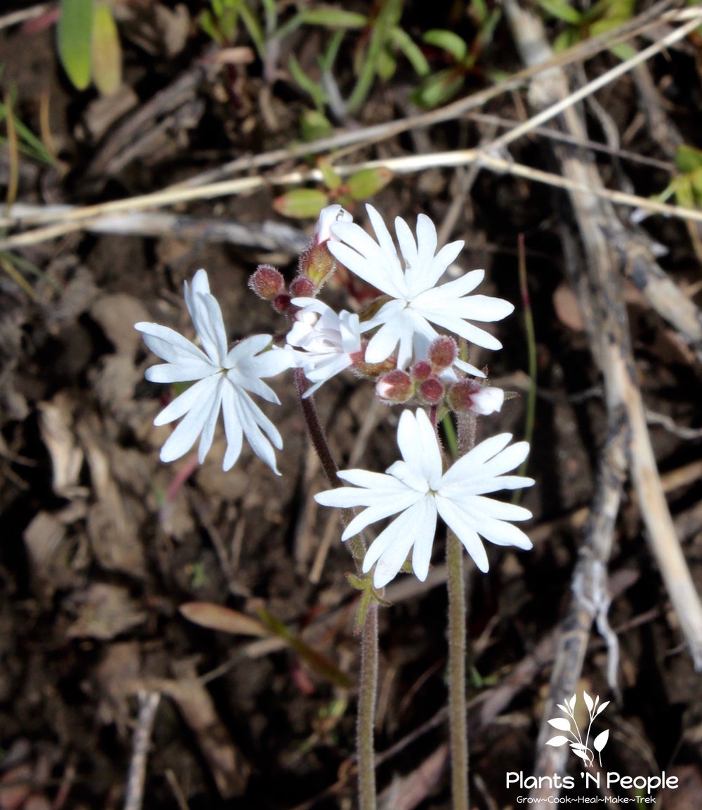Delicate-looking Slender Woodland Star ( Lithophragma tenellum ) can get missed among the growing grasses and other flowers.
