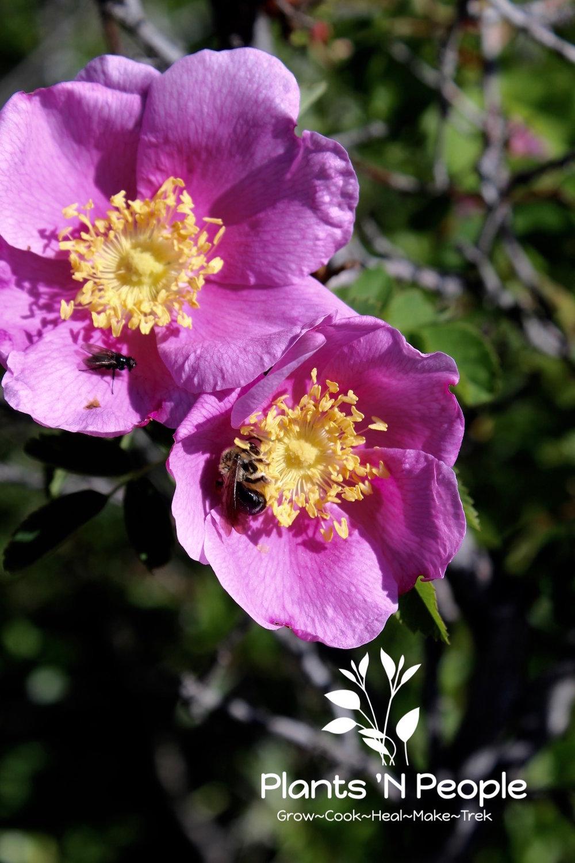 Native Rose ( Rosa spp .)& pollinators