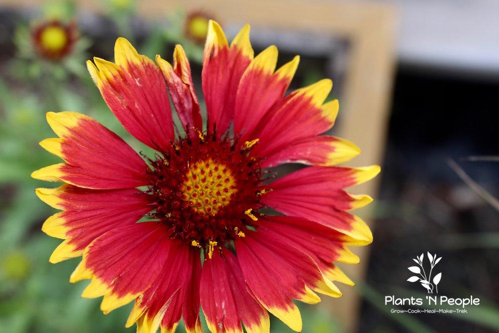 Blanket Flower ( Gaillardia aristata )