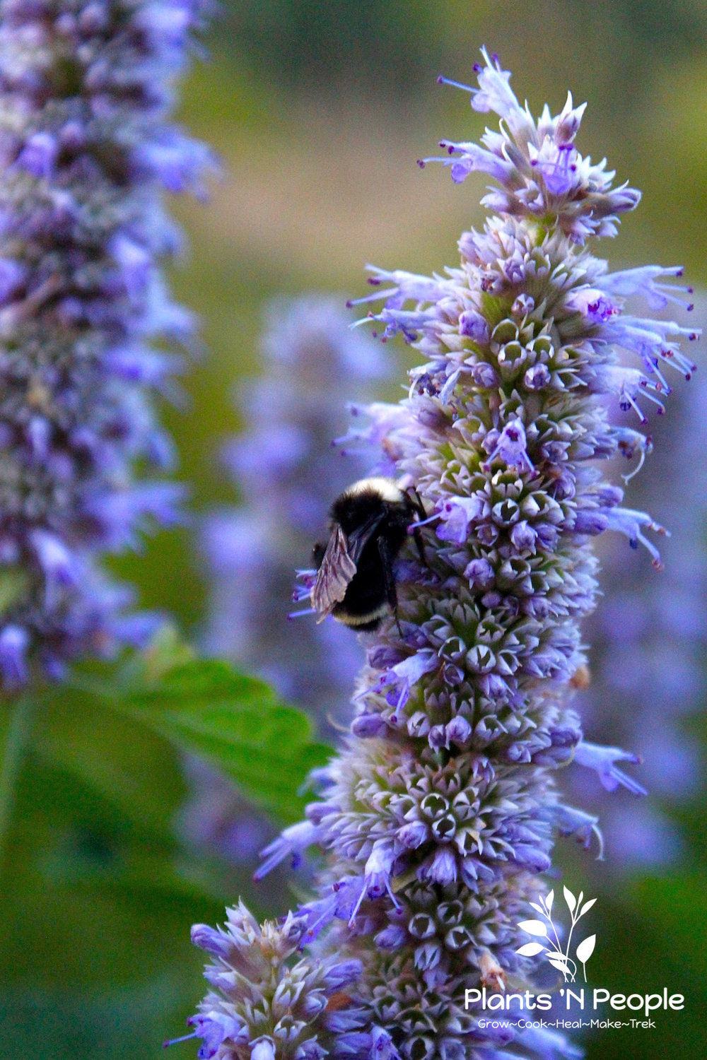Anise Hyssop ( Agastache foeniculum)  A lovely herb in the garden helps sustain pollinators.
