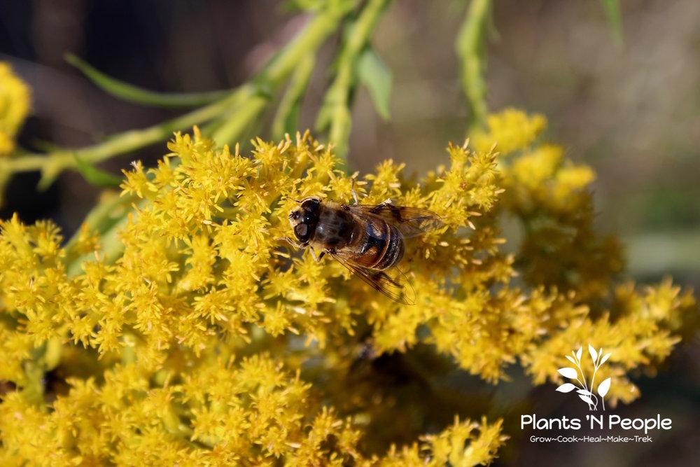Goldenrod ( Solidago canadensis)  & pollinator