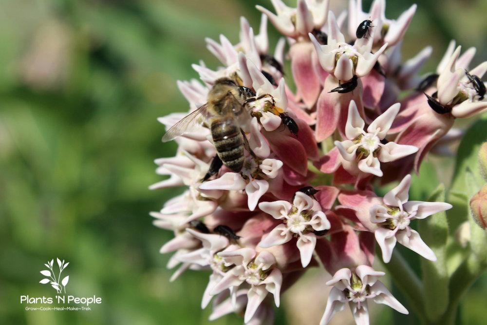 Milkweed ( Asclepias speciosa )