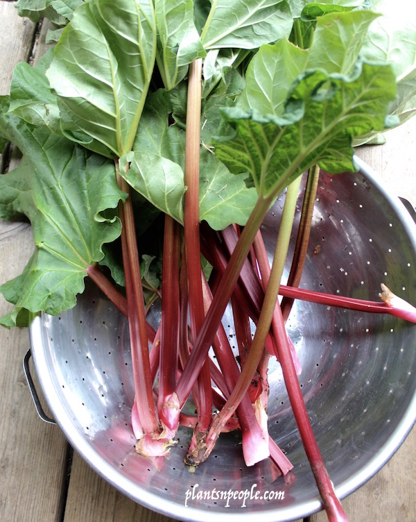 Rhubarb stems get skinnier and the plant slows down production as summer begins.