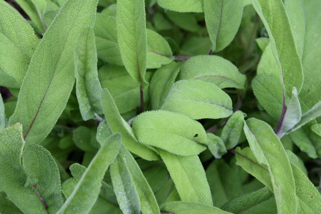 Common sage is a must-have for the winter months.