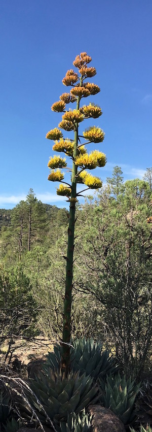 Agave parryi in SW New Mexico