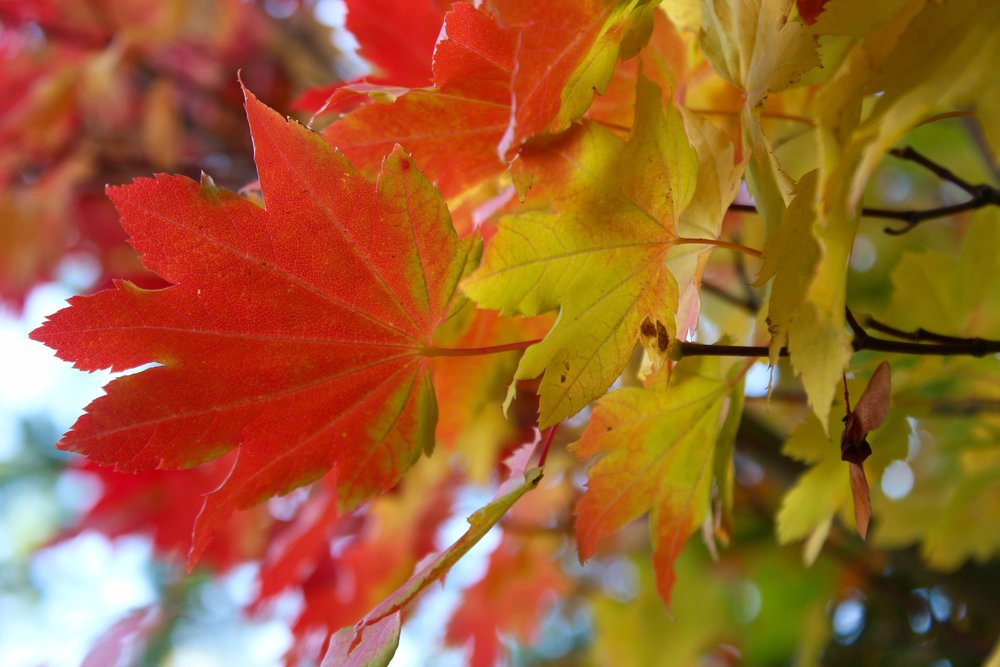 Vine maples explode with color in the fall.