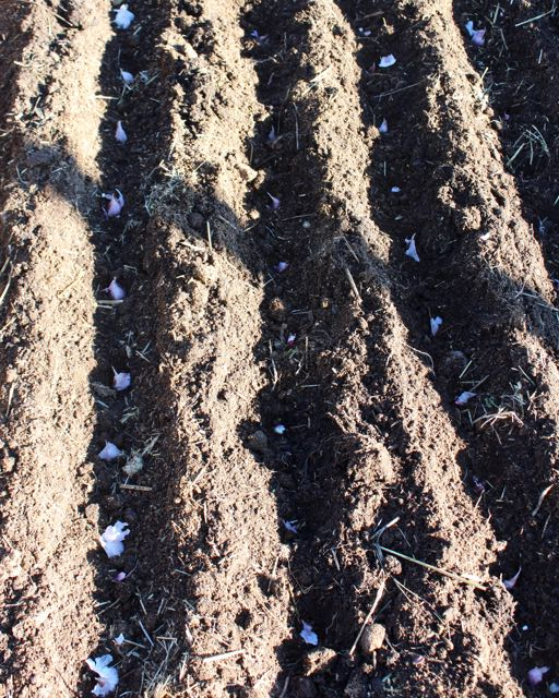 It's not too late to plant garlic. It does best in soil that drains well. After planting, cover the garlic bed with 2-3 inches of straw to protect from winter rain and snow.