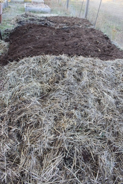 The squash bed was made using the sheet mulch method: layers of horse manure, straw, compost and native dirt.  The straw-covered section is the extension I created this week. I am adding a thick layer of horse manure and then straw on the original squash bed section.
