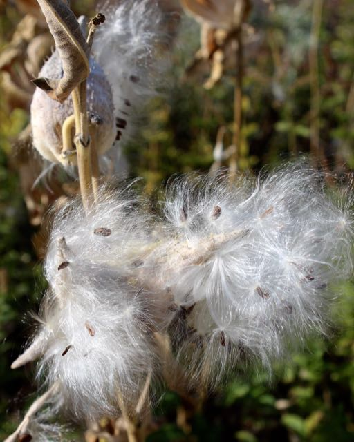 Coma - white filaments with seeds attached, creating a wind-borne reproductive strategy.  Often called seed parachutes.