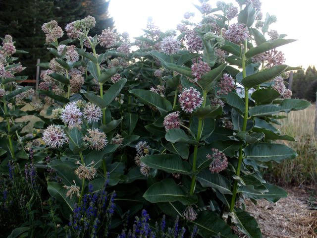 My milkweed patch in the middle of my fenced vegetable garden.