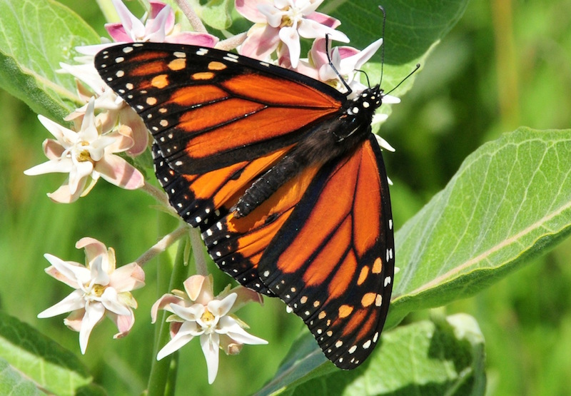 Monarch butterfly visiting a milkweed.