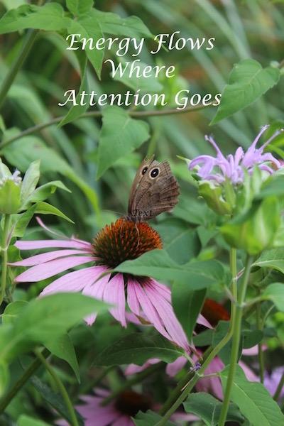 butterfly on echinacea.jpg