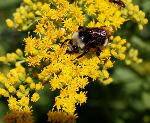 Goldenrod ( Solidago spp .) is a late summer/fall bloomer and pollinators love the late season nectar.