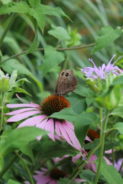 butterfly on echinacea.jpg