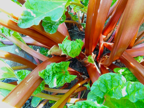 Time to divide this plant and use the many new crowns to add rhubarb to your garden, give away to gardeners or use to dye yarn or fabric.