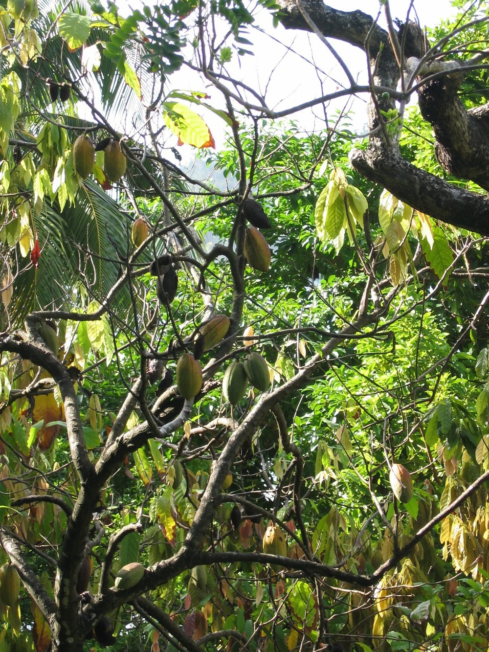 Cacao trees loaded with pods
