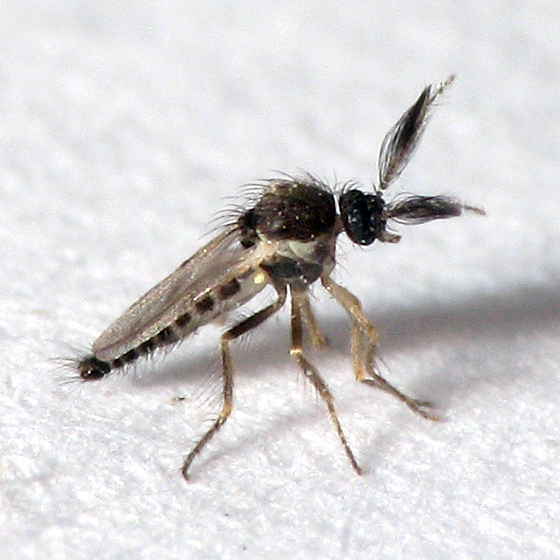 A chocolate midge - the sole pollinator of cacao trees.(Attribution: nps.gov)