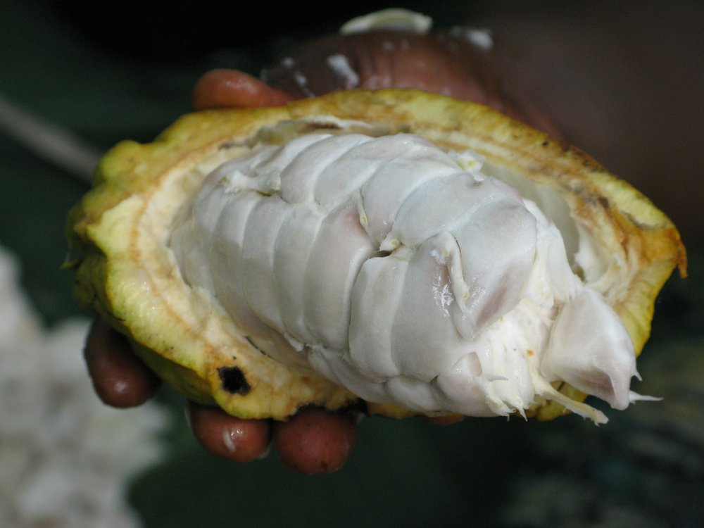 The cacao pod holds the reddish brown cacao beans (which are seeds of the fruit) that are encased in a white mucilaginous pulp.