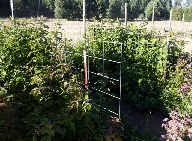 Raspberries are happy in their new location. Inside the fencing are the strawberries which are done this year. Many commercial growers replace their strawberry plants each year.