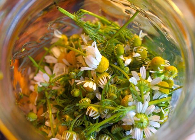 Chamomile in jar for preparation.