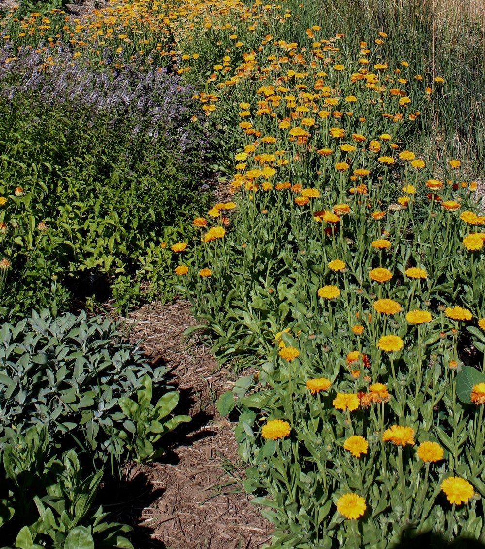 Calendula looks wonderful in a swath in the garden.