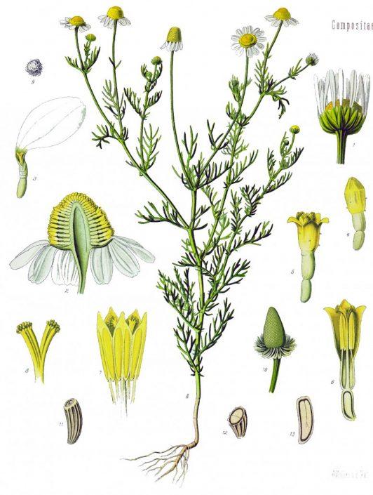 herbs-chamomile-07-532x705.jpg