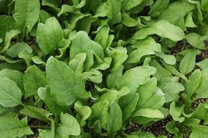 spinach-506616_640.jpg
