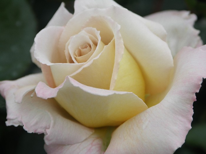 rob_somerfield_roses_creme_de_la_creme.jpg