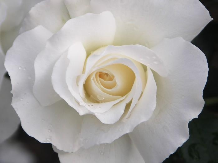White Romance (Gle01)