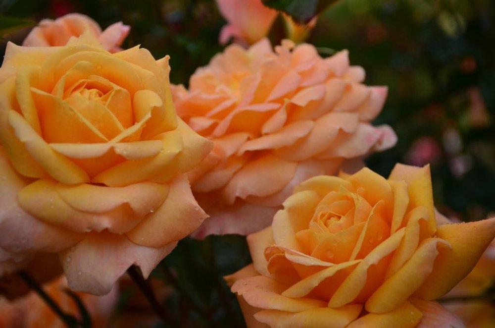 Rose #3.jpg