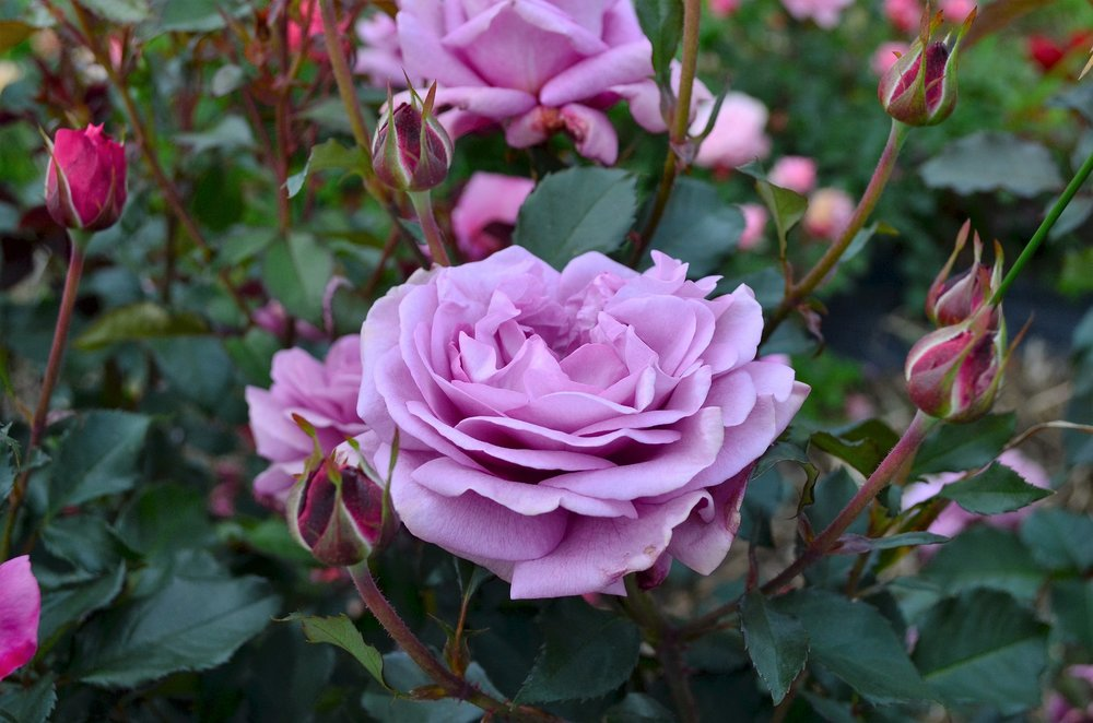 Rose #10.JPG