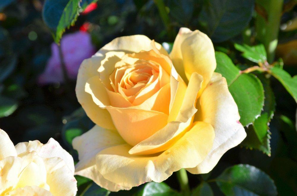 Rose #13.JPG