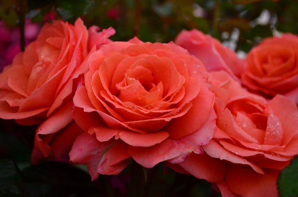 Rose #14.jpg
