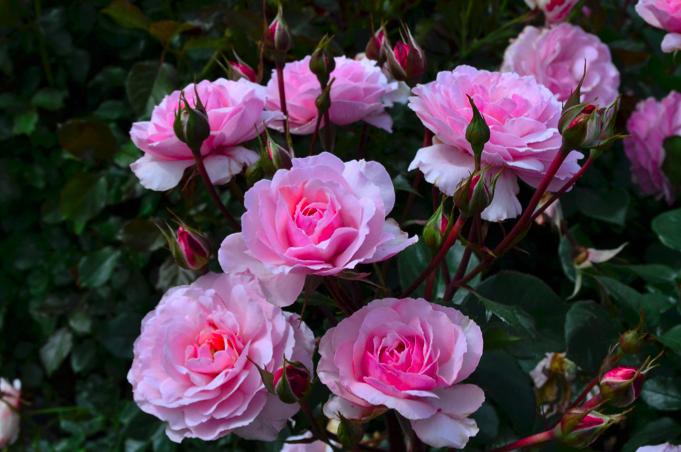 Rose #15.png