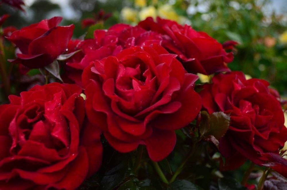 Rose #11