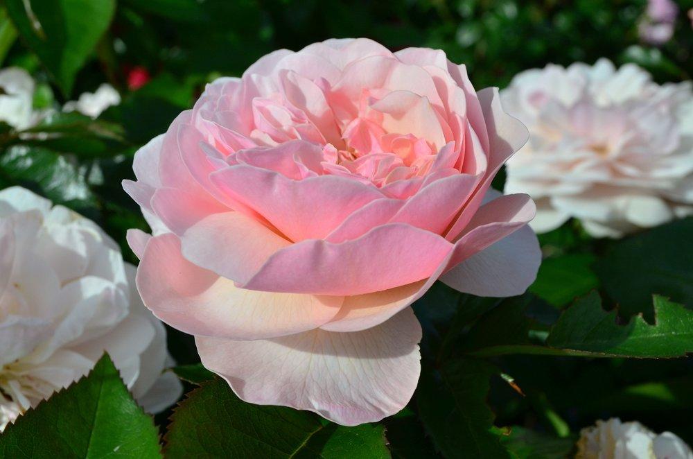 Rose #18