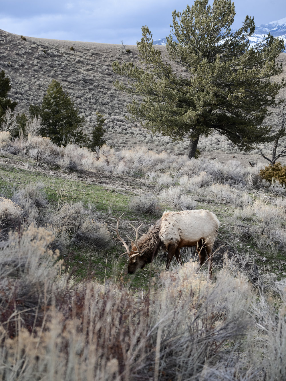 Elk photography