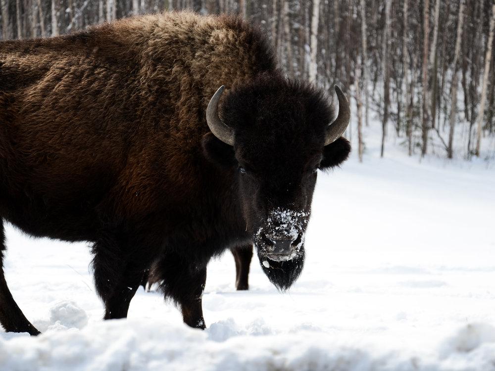 Wild Bison on Alaska Highway