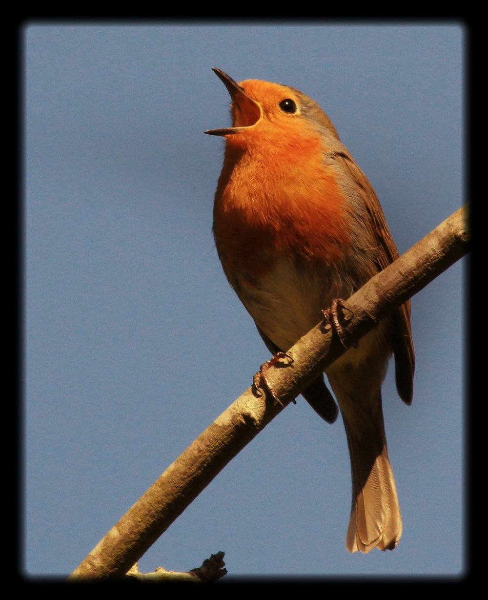 Robin bird_singing.jpg