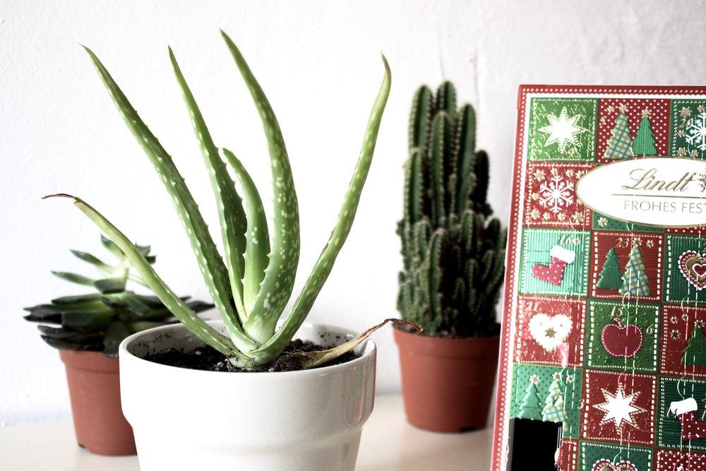 aloe vera plant cactus